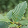 Kratom: natural painkiller or dangerous drug?