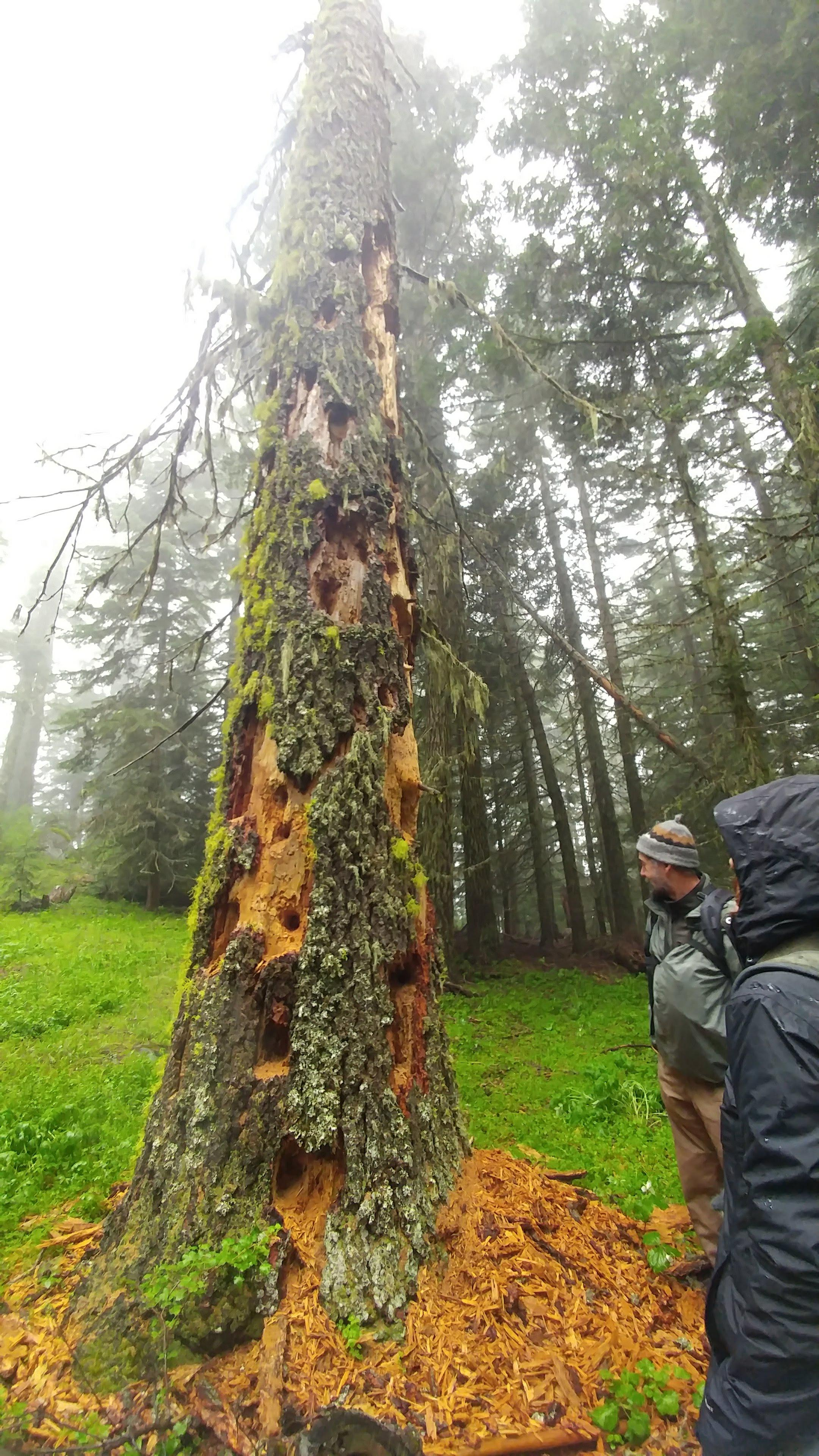 Photo by Heather WilsonDr. Pepper Trail stops at a Douglas fir which showcases the pleated woodpeckers excavation abilities on the Pacific Crest Trail near the Soda Moutnain Wilderness.