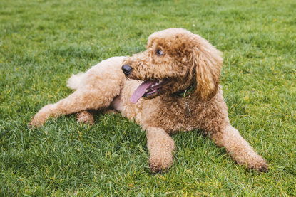 RUFFined Spotlight: Rosie the GoldenDoodle | Seattle Refined