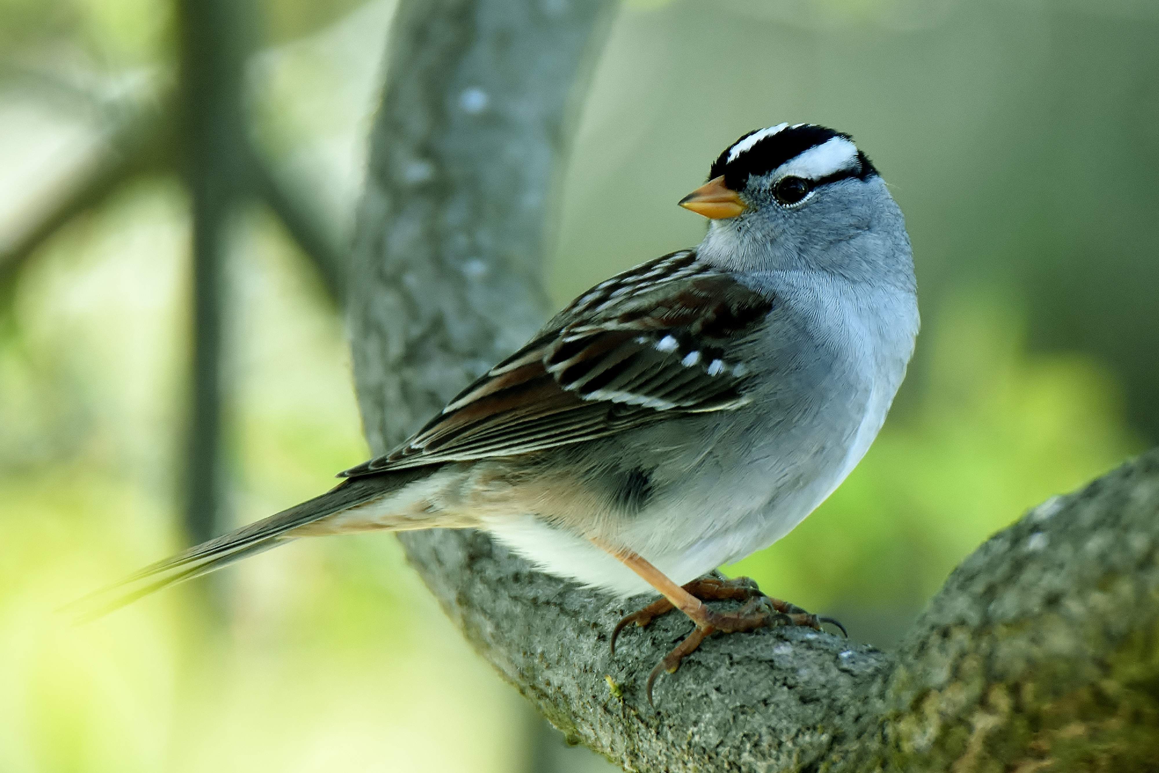 White-crested sparrow - Photo by Randy Young