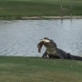 SPOTTED: A gator snacks at golf course in Palm Beach Gardens