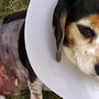 Family looking for dog that viciously attacked their 5-year-old beagle