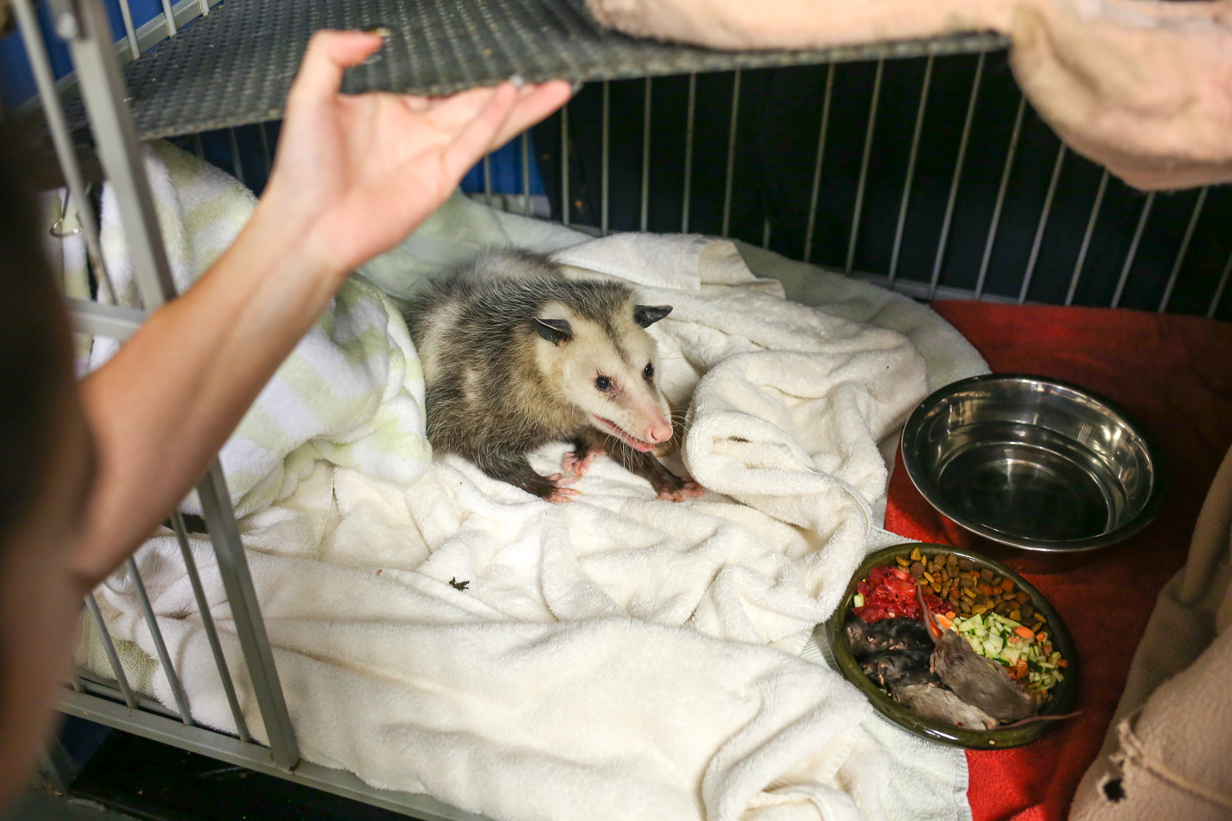 A Virginia Opossum being taken care of by City Wildlife. (Amanda Andrade-Rhoades/DC Refined)
