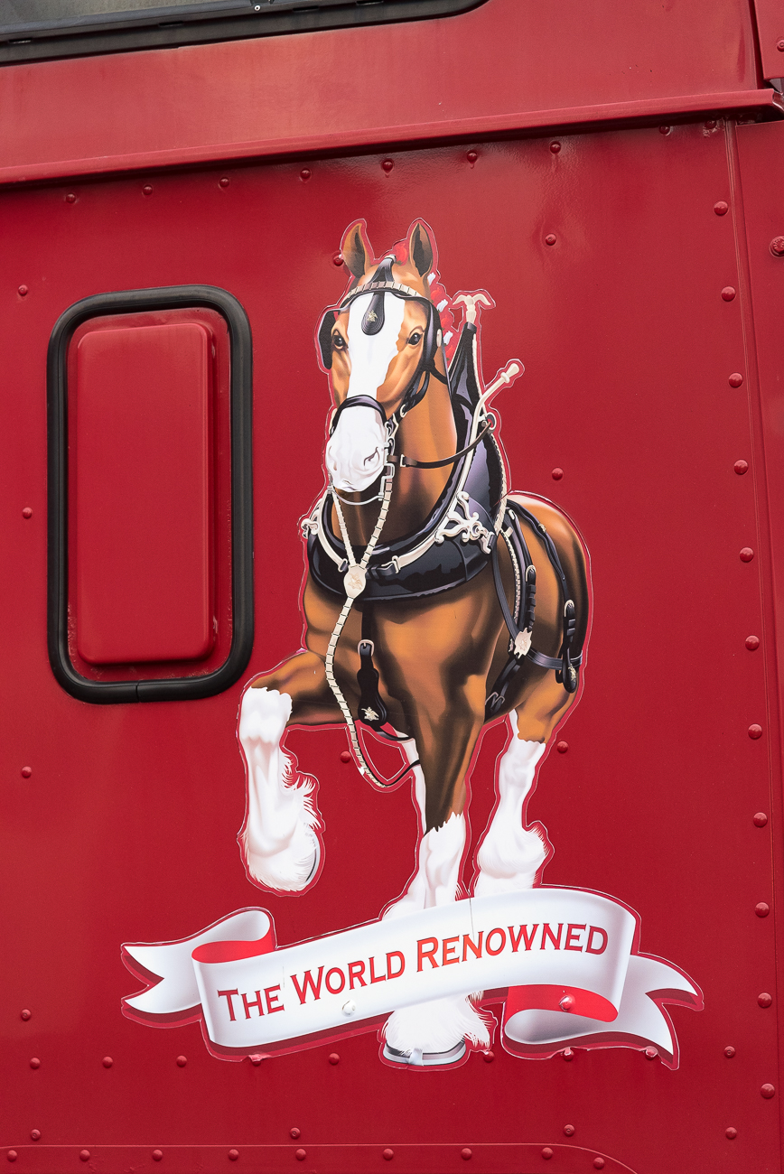 World-renowned Clydesdale horses, one of Anheuser-Busch's oldest mascots, made a rare stop in Bellevue at the Party Source on Wednesday, November 28. The horses' visit was thanks to a partnership between Jim Beam and Budweiser on a new brew that celebrates the end of Prohibition, which took place on December 5, 1933. 50-foot trailers wheeled the horses into the parking lot and a team dressed the Clydesdales with gear before affixing them to a 12-ton wagon. Photo opportunities with the Clydesdales for the crowd followed. / Image: Phil Armstrong, Cincinnati Refined // Published: 11.29.18
