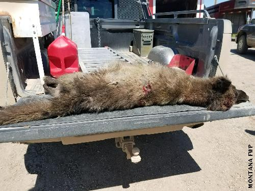 Denton Canid body - Wolf-like creature shot in Montana sent to Oregon for DNA tests - Photos from Montana Fish Wildlife and Parks.jpg