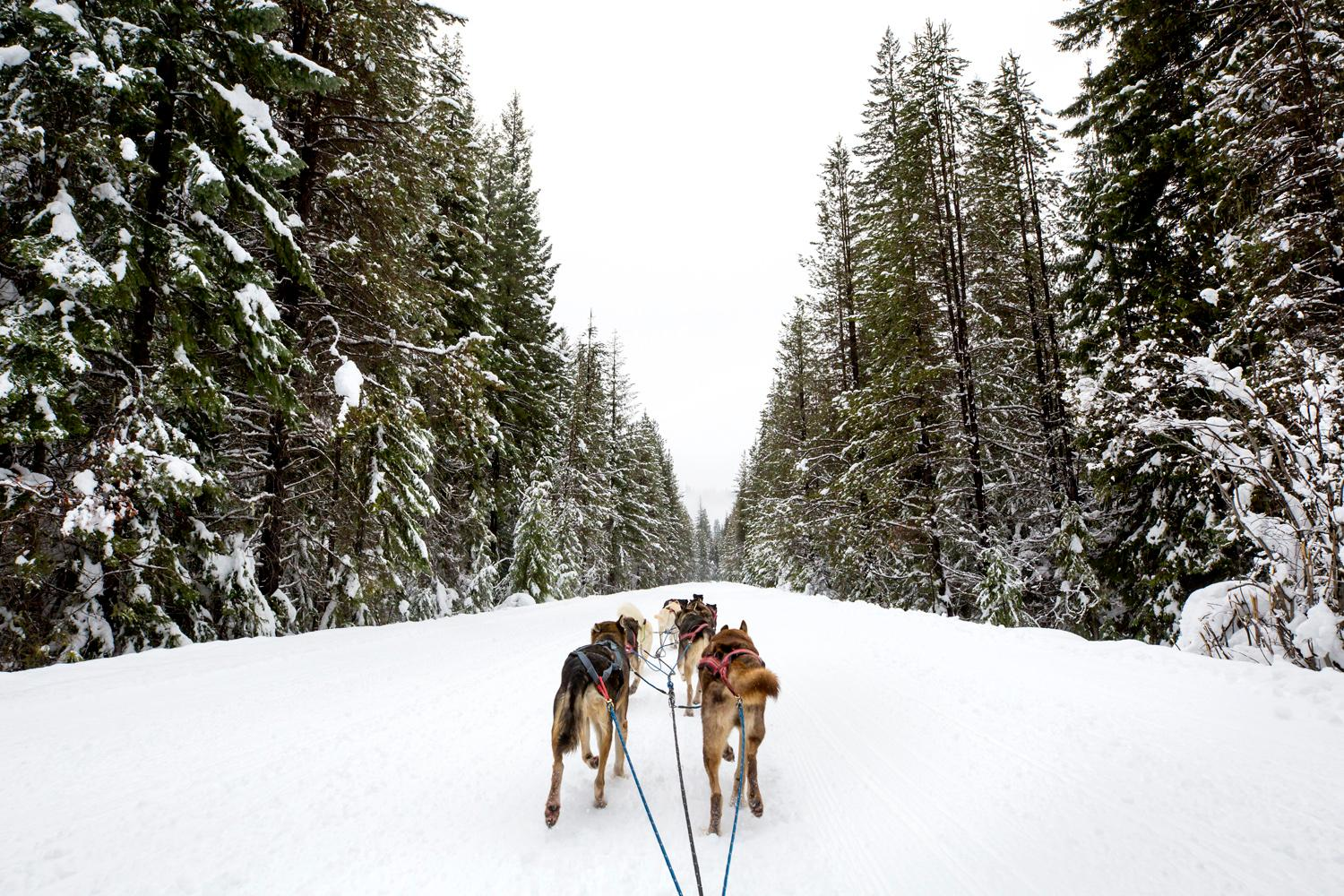 Once you travel via dogsled, it's going to be hard to get back in your car, or on the bus. Case in point: we joined Captain Larry Roxby and his team of dogs (known as The Flying Furs) on a six-mile run in the Wenatchee State Forest. The scenery was beautiful, the dogs majestic - and Captain Larry a HOOT! Roxby's team of 26 dogs is made up of Iditarod vets, current racing champs, Siberian Huskies, Alaskans and rescues - that he trains all year long. Rides with Captain Larry and his dogs can be booked online at  northwestdogsledadventuresllc.com. (Image: Sy Bean / Seattle Refined)