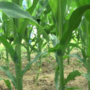 Hot, Dry Weather Depletes Soil Moisture