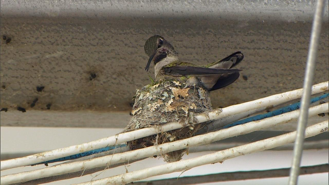 Lucky the hummingbird nests at Shorty's Garden Center in Vancouver. She's been doing so for the last four years. (KATU Photo)<p></p>