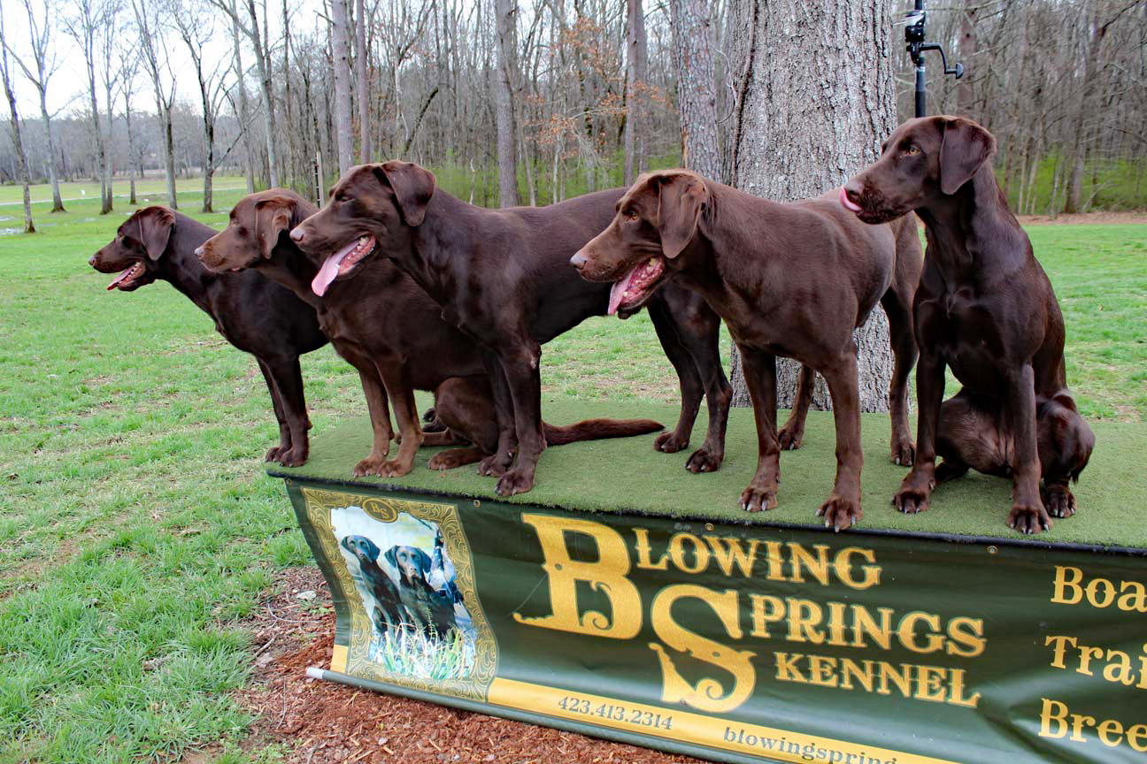 Trained Duck Dogs For Sale In Alabama