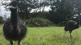 Emus on the loose in Isabella County