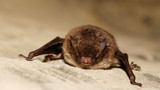 Idaho racing to combat deadly bat fungus