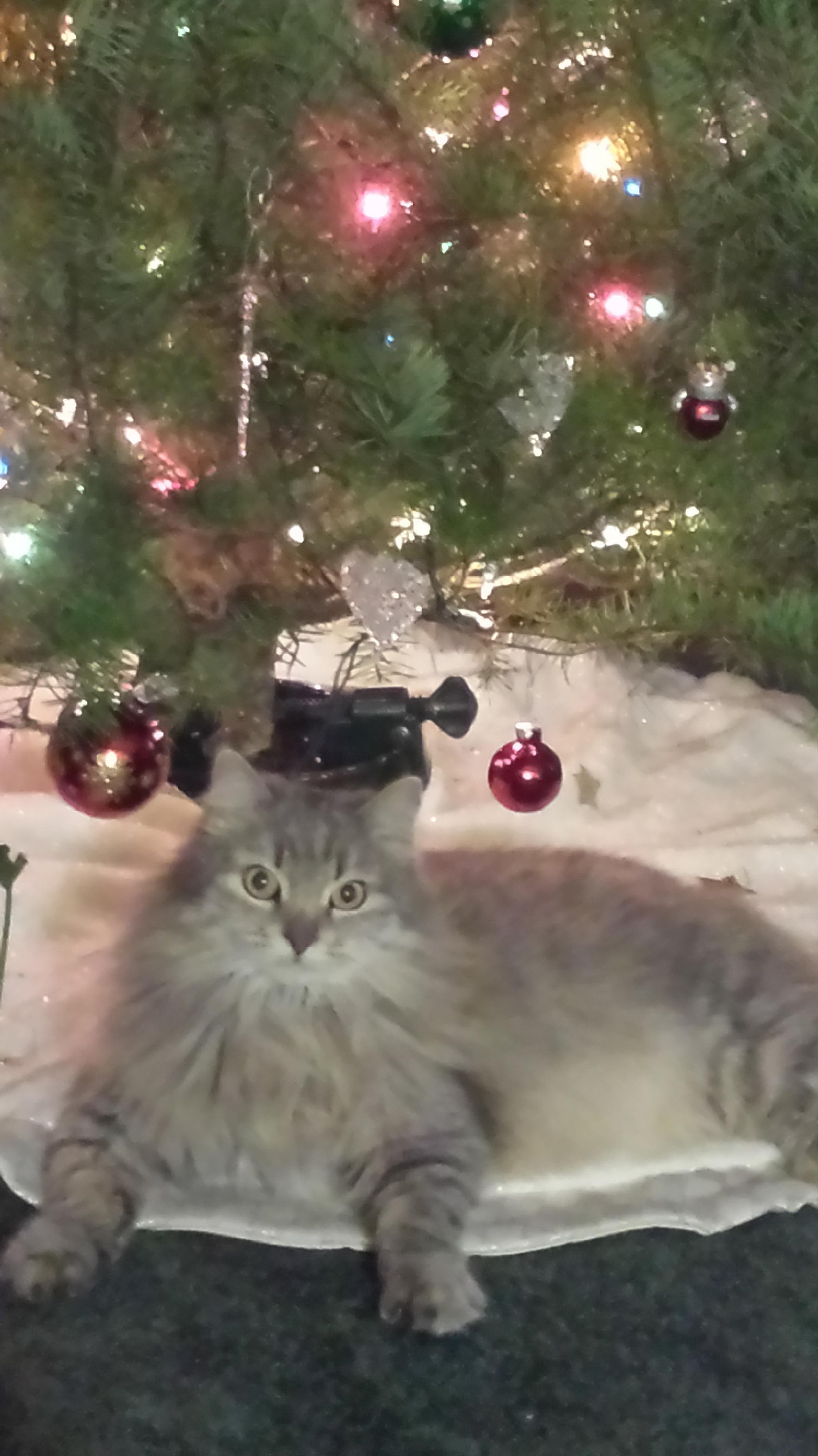 "Cindy Snode took this photo of her kitten MeMe (so named ""because it's all about her"") and her Christmas tree."