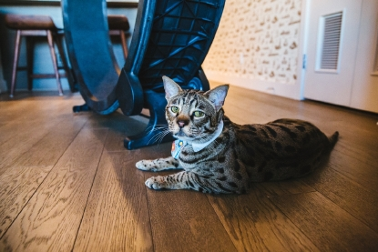 RUFFined Spotlight: Angus the Giant Cat | Seattle Refined