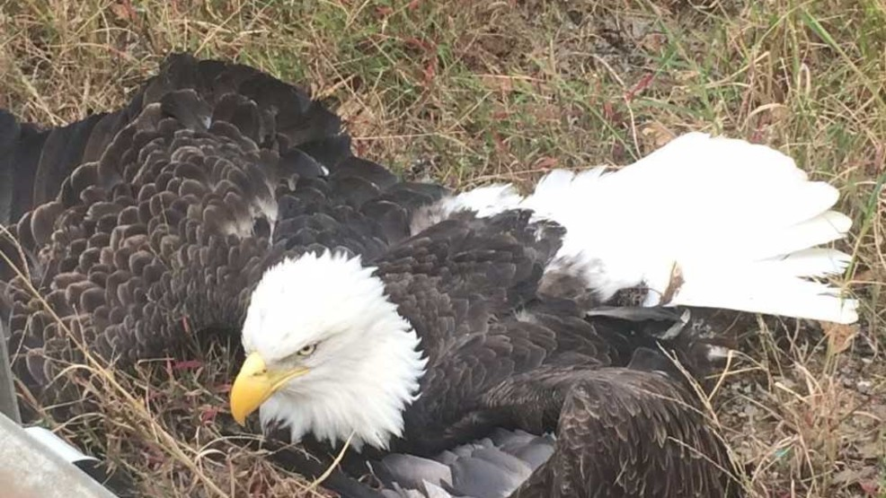 Bald eagle hit by vehicle in Williamson Co., IL (Source Taylor Clark KFVS).jpg