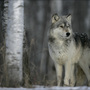 Idaho officials reject bait hunting plan targeting wolves