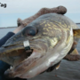 Anglers could receive reward for tagged walleye in Saginaw Bay area