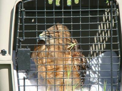 Rehabilitated hawk released into the wild // TPWD Photo