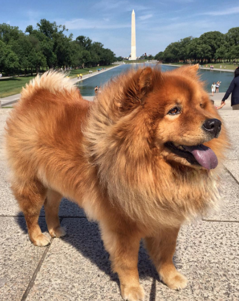 Izzy is an 8 -year-old chow chow living the city life in Washington, D.C.! She's kind've a big deal.. she's been on BuzzFeed. (IMAGE: IG user @izzy_the_chow)