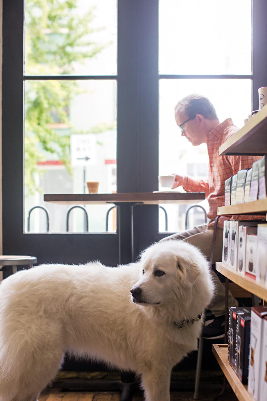 Gertie, a Great Pyrenees, at Collective Espresso / Image: Sarah Parisi Dowlin // Published: 11.7.18