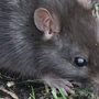 Oregon cities crawling with rats - especially Astoria