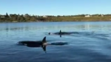 Orca pod caught on camera near Florence: 'My phone died just a few seconds later'