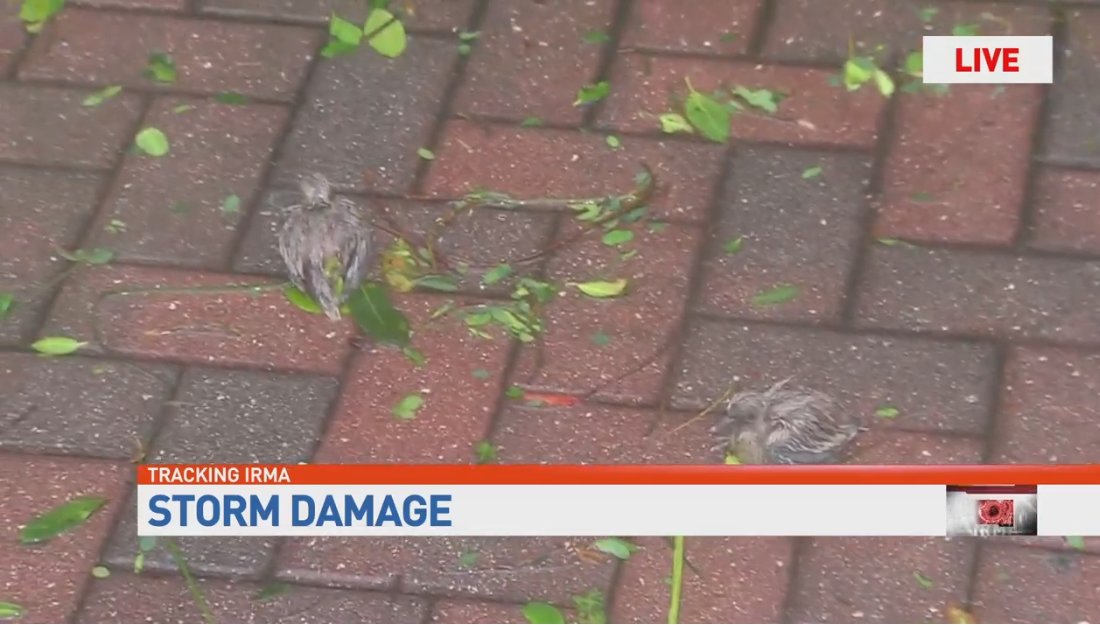 TV crew saves baby birds from hurricane. (WPEC)