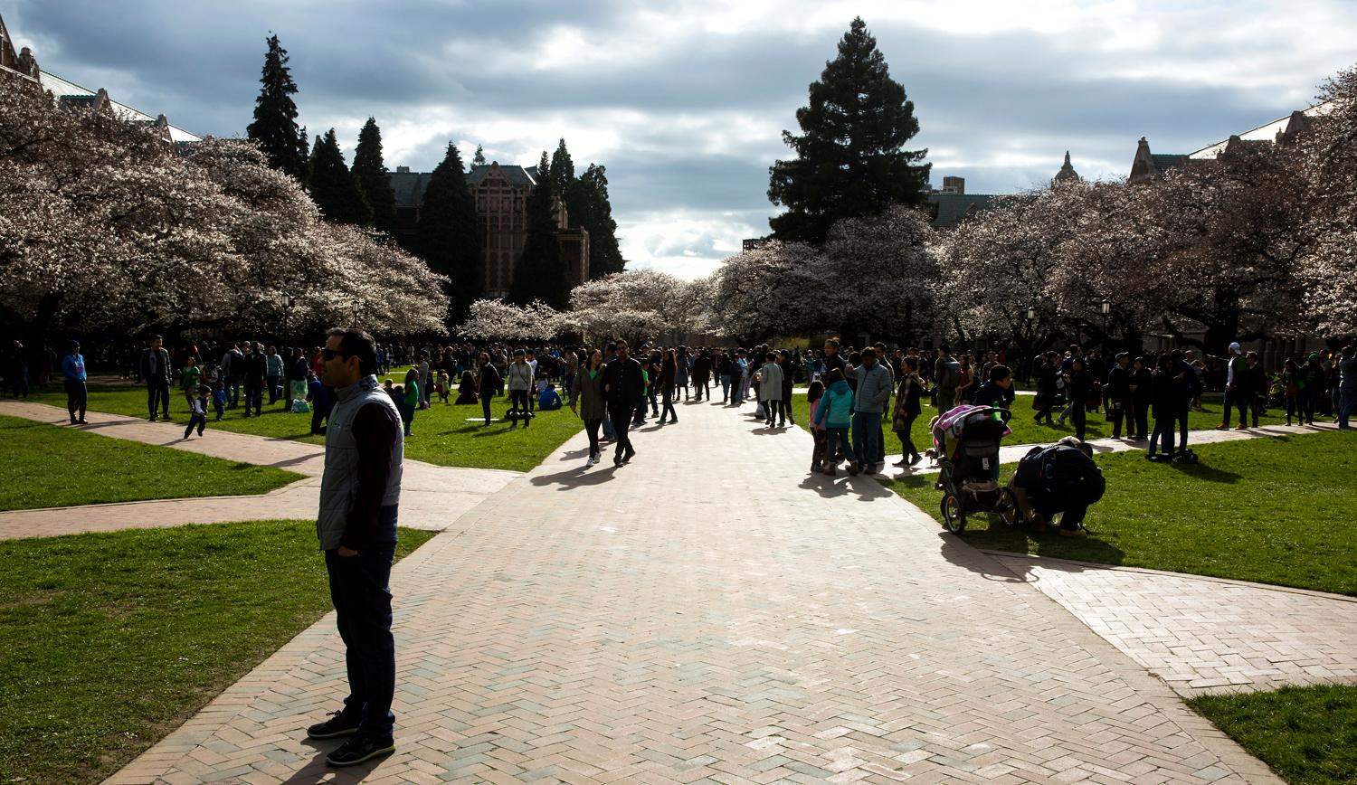 Hundreds of visitors walk the Quad to experience the 30 Yoshino cherry trees in bloom at the University of Washington, Saturday, March 17, 2018. The trees were originally purchased by the university in 1939 and planted in the Washington Park Arboretum, and then later transplanted in the Quad in 1962. The trees will be hitting peak bloom this week - so make sure to check them out! (Sy Bean / Seattle Refined)