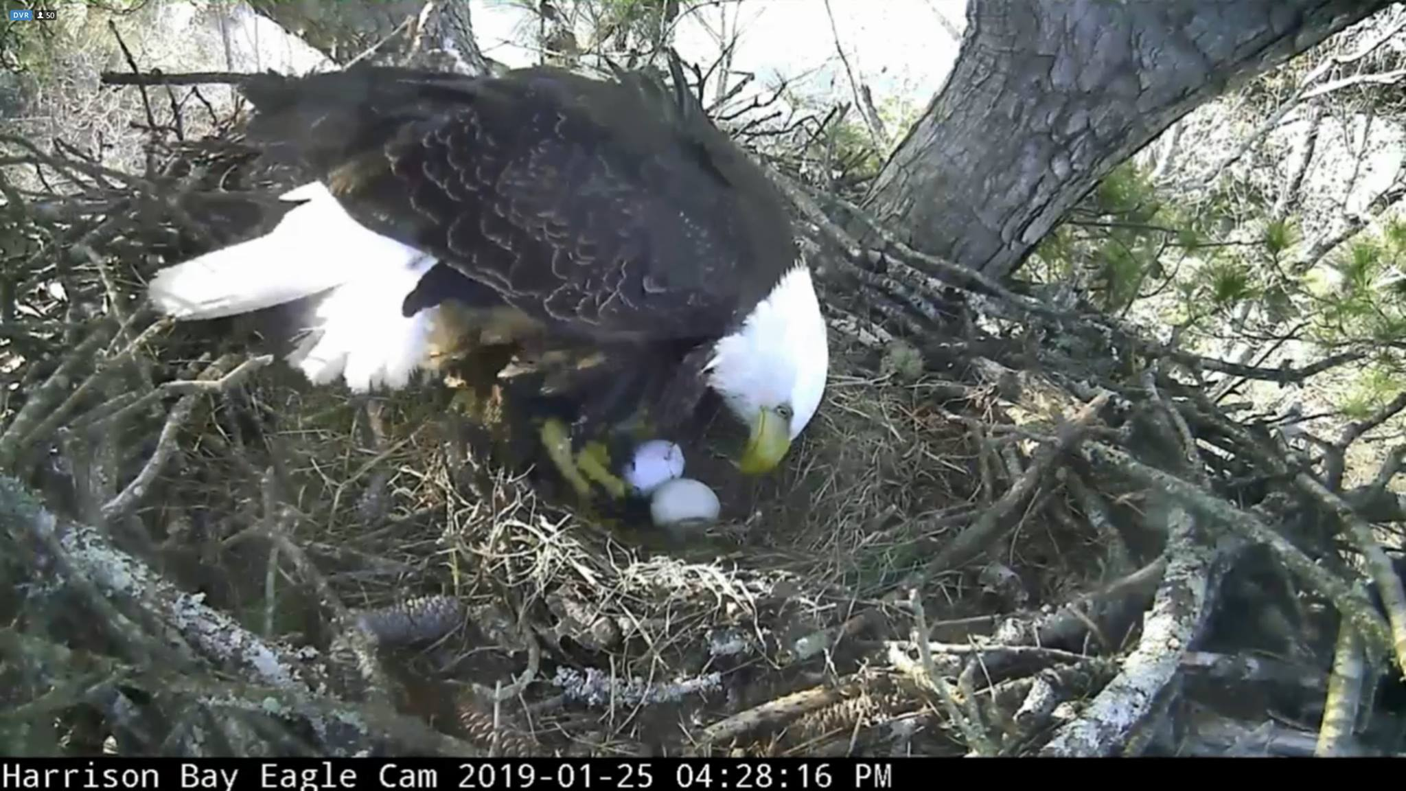 The second eagle egg was laid on Jan. 25. (Eagle Cam Screen Grab)