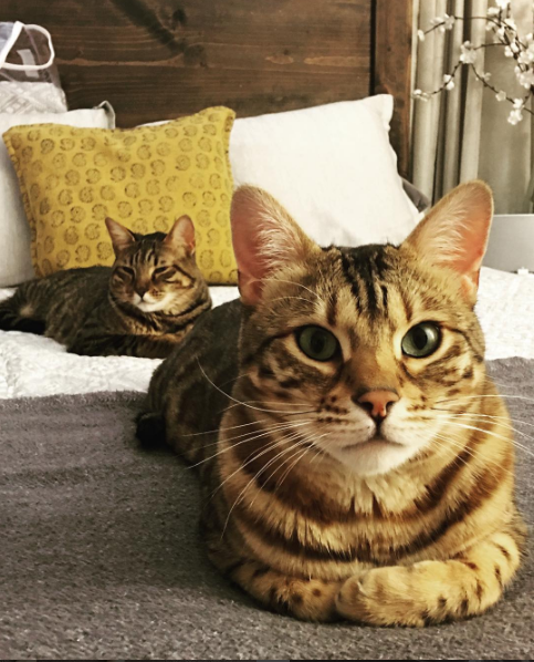 Henry has spots and stripes and is very gentleman like. His little sister Stella makes special appearances. (IMAGE: IG user @henry_the_bengal)