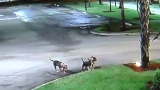 Video shows pit bulls attacking homeless man