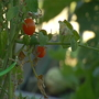 Taft community garden faces theft