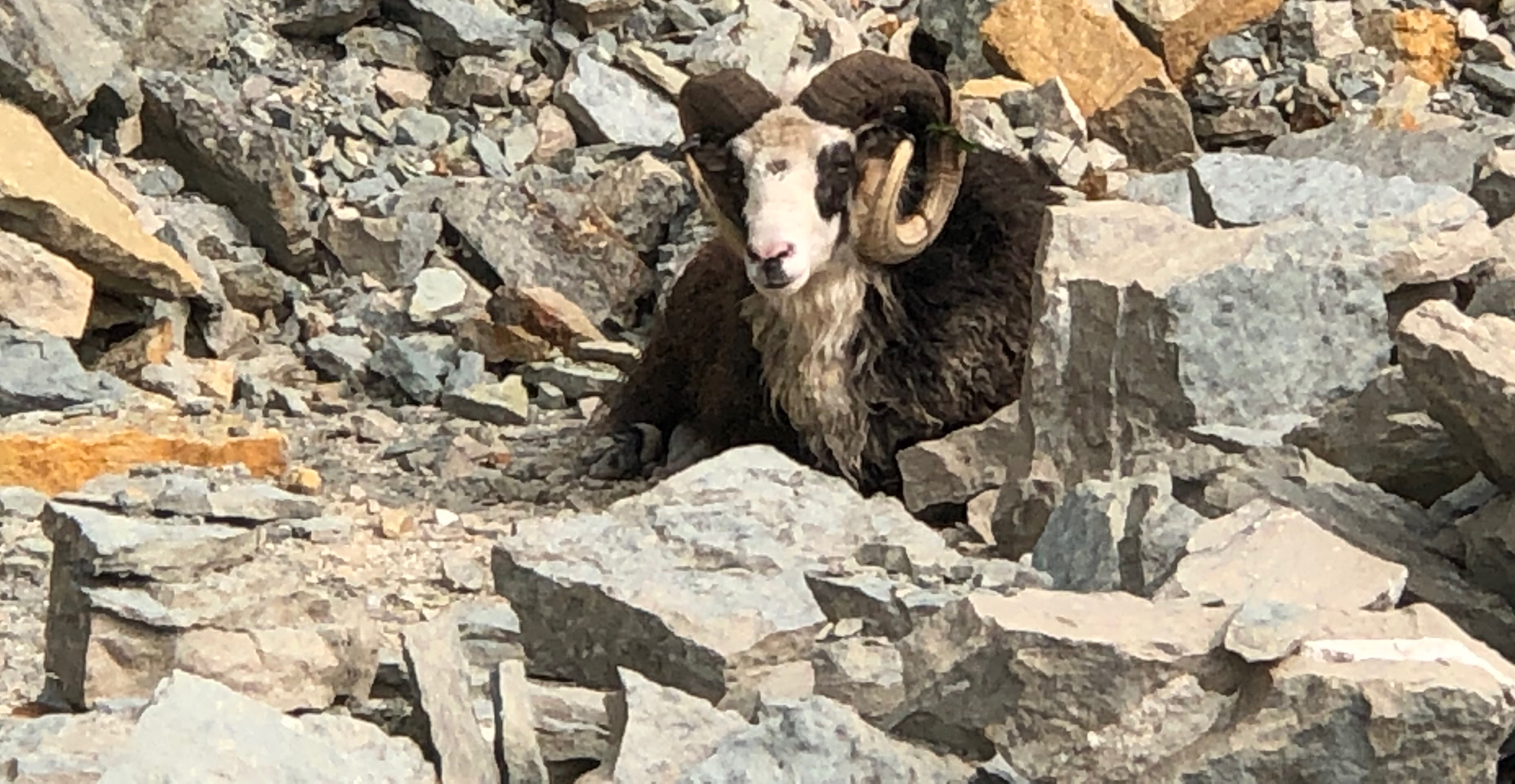 Ory Green works for Murphy Concrete and Construction and saw the ram in the quarry. (Photo courtesy Ory Green)