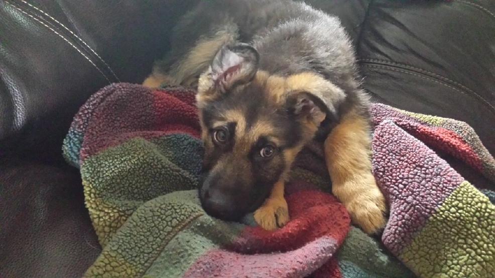 Droll German Shepherd Puppies For Sale In Pa Craigslist ...