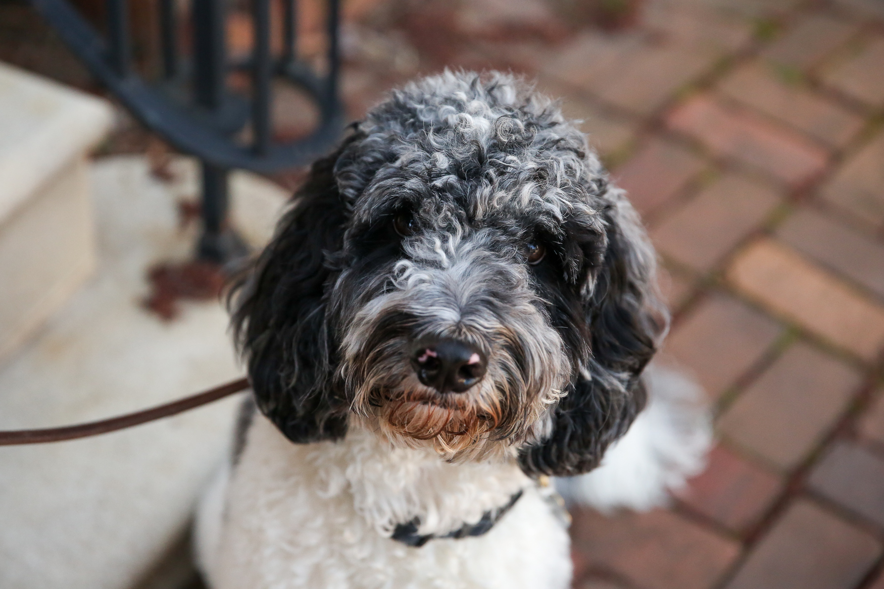 "Meet Scrummer, a 15-month-old Cockapoo. He came home to be with his family at just 8 weeks old, and came from Indiana.{&nbsp;}He LOVES his rugby ball (his all time favorite toy) and hiking, so the fam tries to get out to the mountains twice a month. Scrummer enjoys the freedom of the trail and carries his backpack with his water, kibble, treats and first aid kit. When he sees his pack come out he gets so excited because he knows that means an adventure is coming. On the flip side, he HATES the car. He gets super anxious and drools everywhere. One of his family's favorite memories with Scrummer was on a recent hike when his momma was having a particularly stressful week. ""When we reached the summit of our hike I sat down to take it all in,"" said Scrummer's mom. ""Scrummer came and sat right next to me, leaned up against me, and just stayed like that for 15 minutes. It was something simple, but so sweet."" If you're interested in having your pup featured, drop us a line at aandrade@dcrefined.com, but we do have quite the waiting list right now so we appreciate your patience! (Image: Amanda Andrade-Rhoades/DC Refined)<p></p>"