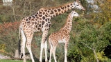 "Seattle baby ""giraffe watch"" to begin in May"
