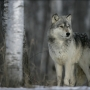 First confirmed wolf sighting in Nevada since 1922