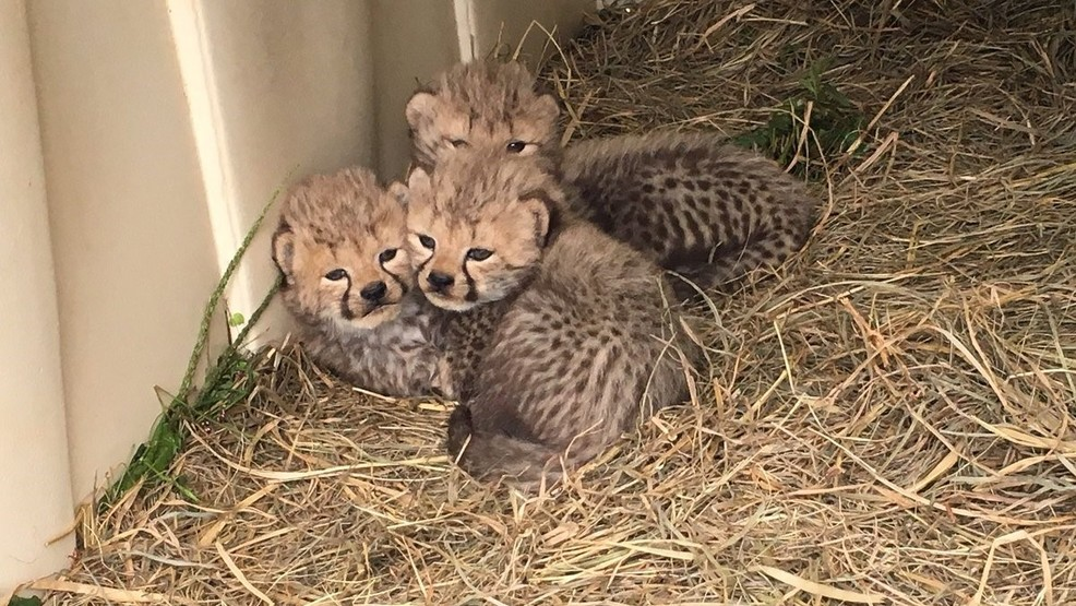 these baby cheetah cubs at smithsonian conservation biology