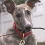 Greyhound rescue saves puppy from meat trade in China
