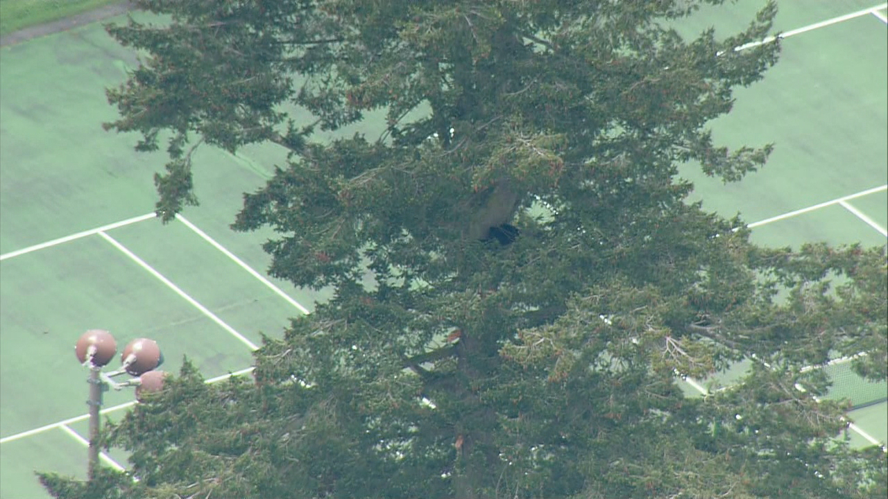 The bear was high in the branches of this tree. (Photo: Air4)