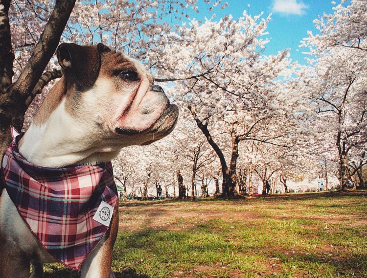 In honor of National Pet Day (which is basically like Christmas around here!) we checked in on a few of our favorite Instagram stars to see what they've been up to lately, and we noticed many of them had paid a visit to D.C.'s beloved blossoms. So for this week's special RUFFined Spotlight, we give you some adorable four-legged admirers of the cherry blossoms! (Image: via IG user @peachesandnellie /{ }instagram.com/peachesandnellie/){ }
