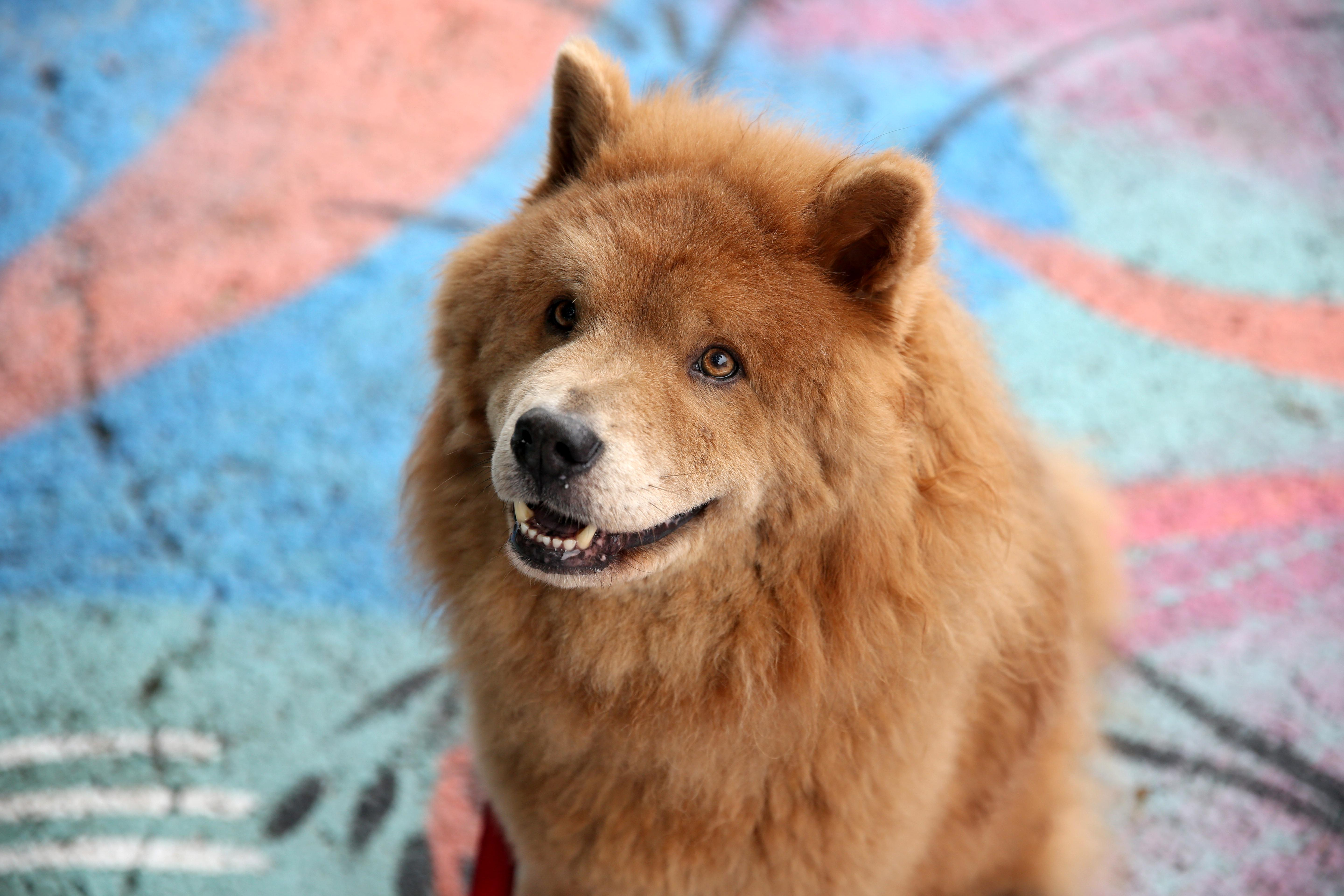 "Meet Kingston, a Chow Chow who is celebrating his ninth birthday TODAY! Happy birthday, Kingston! His mom had been obsessed with Chow Chows forever, thanks to Martha Stewart's dog Paw Paw, and in August 2008, she finally found her perfect pup. Kingston loves belly scratches, treats, the dog park and standing guard against squirrels and bunnies. He can most often be found in his custom dog elevated dog bed resting his chin on the window sill and bird/squirrel/bunny-watching all day long.  While he knows all the basic commands -- sit, down, shake, high-five, speak and stand -- he never quite mastered stay, as he prefers to be on the go! Kingston is also one of the four-legged founders of the ""Bipawtisan March"" coming to D.C. on June 4. The march is being organized by a group of local dog owners who ""wanted to find a way that a group of individuals from different political and ideological backgrounds could come together and find common ground on a position that we all support: our pets. "" All proceeds from the march go directly to the Humane Rescue Alliance. If you or someone you know has a pet you'd like featured, email us at dcrefined@gmail.com or tag #DCRUFFined and your furbaby could be the next spotlighted! (Image: Amanda Andrade-Rhoades/ DC Refined)"