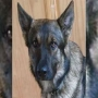 WSP: Explosive detection K9 officer dies after emergency surgery