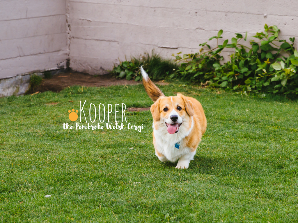 Corgi, corgi, cooorgi! Corgi's are our spirit animal. Everyone meet, Kooper! Kooper is a six-month-old Pembroke Welsh Corgi and has floppy ears, a long tail, and lives in Fremont with his mom and dad. Kooper likes string cheese, belly rubs, and singing along to fire trucks. He dislikes hair dryers, his collar, and the Huskies. (Image: Sunita Martini / Seattle Refined).
