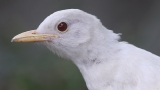 PHOTOS | Rare albino blackbird caught on camera