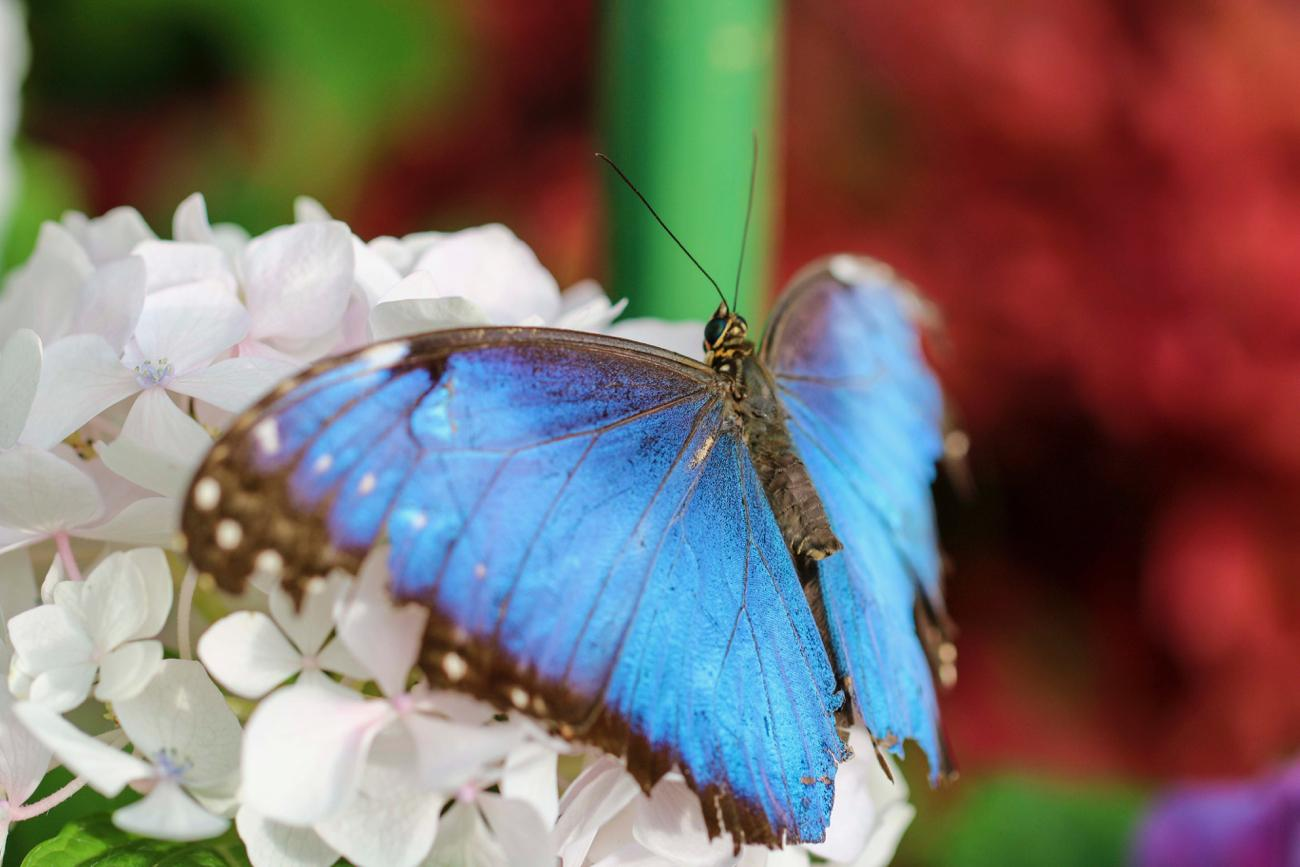 Blue Morpho / Image: Tommy Zipperstein // Published: 5.5.17