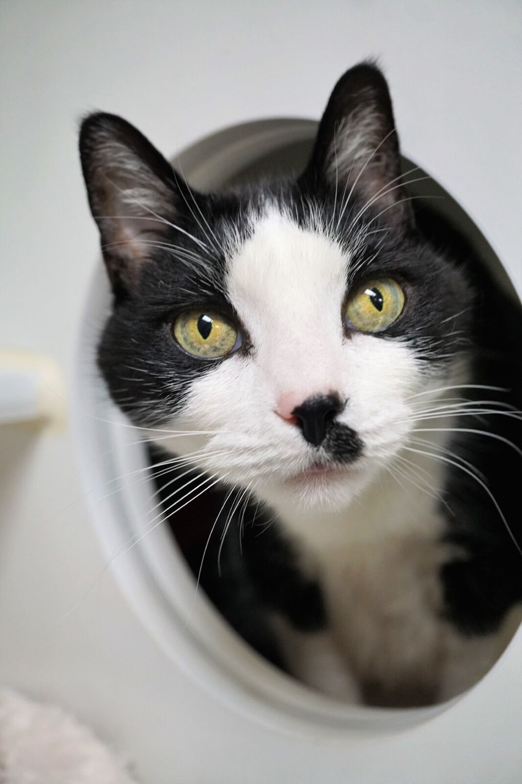 Love to chat? So do I! Let's be friends – my name is Smudgy. I'm an 11 year old tuxedo boy who loves to catch your attention by saying hi. My favorite activities include climbing cat trees, observing the world through windows, snuggling with my people and lounging around the house! I promise not to demand much and I'll be an easygoing guy once I acclimate to my home with you. New situations can make me nervous, but with some time you'll see my endearing personality and charming antics shine! Teens and adults in my family will help set a mellow vibe – perfect for me! Sound like a match?{&amp;nbsp;}<p></p>