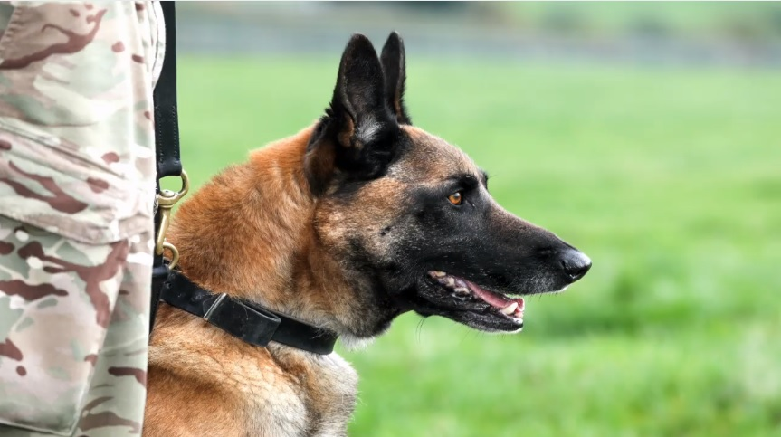 Mali, an eight-year-old Belgian Malinois, was awarded the PDSA Dickin Medal for his service in Aghanistan. (Image: courtesy of British Army/Facebook)